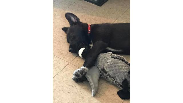 11-27-17 little puppy willow falling asleep wit her favorite toy from Amanda Neal_1511906678075.jpg