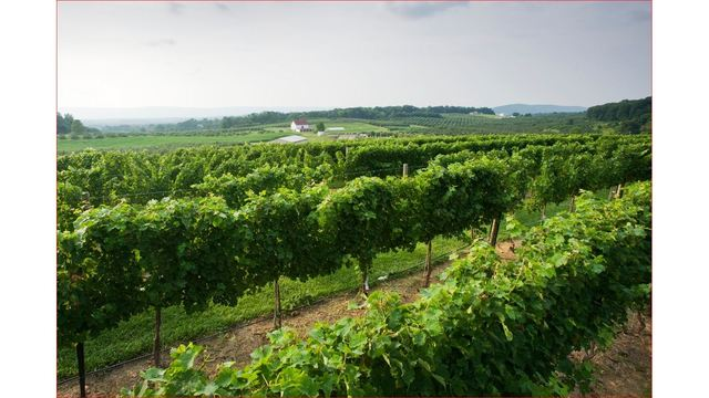 Virginia Tech Helps Independent Grape Growers in the Commonwealth Assess and Manage Vineyards
