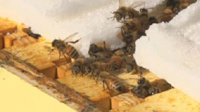 Honey bee populations are at risk