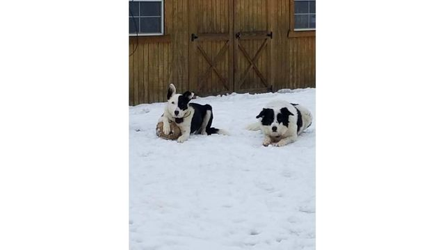 2-8-18 My border collies Miley and bongo waiting to play soccer ball in the snow from Becky Weiss.jpg