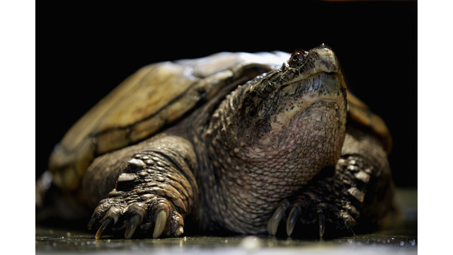 Idaho science teacher reportedly feeds puppy to snapping turtle in front of students