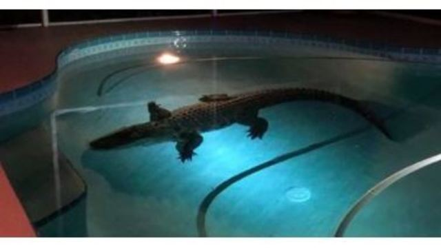 11-foot alligator goes for a dip in Sarasota swimming pool